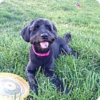 Adopt A Pet :: Smokey - Hilliard, OH