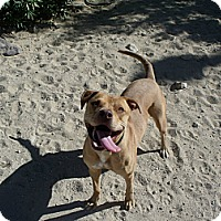 Labrador Retriever/Rhodesian Ridgeback Mix Dog for adoption in Lucerne Valley, California - River
