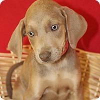 Adopt A Pet :: Paisley - Waldorf, MD