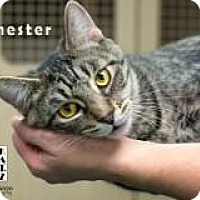 Adopt A Pet :: Chester - Albuquerque, NM