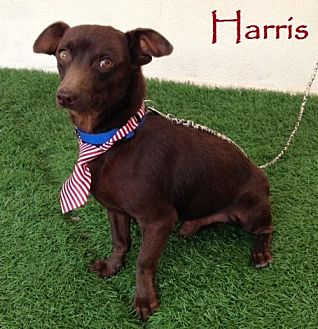 Dachshund Mix Dog for adoption in San Diego, California - Harris