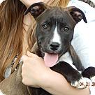 Adopt A Pet :: Onyx (18 lb) New Pics & Video