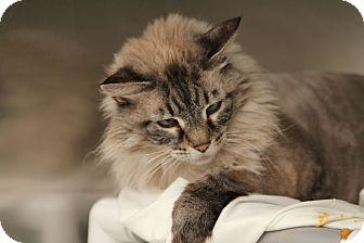 Ragdoll Cat for adoption in North Las Vegas, Nevada - Pearl