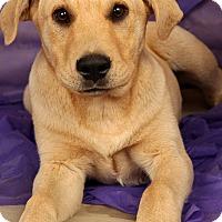 Adopt A Pet :: Aladdin Labmix - St. Louis, MO