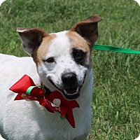 Corgi/Jack Russell Terrier Mix Dog for adoption in Pluckemin, New Jersey - Sarah