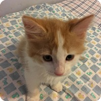 Adopt A Pet :: Darcy Bingley and Wickham - Germantown, MD