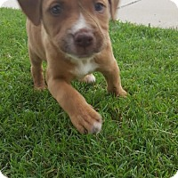 Adopt A Pet :: Brut - Dallas, TX