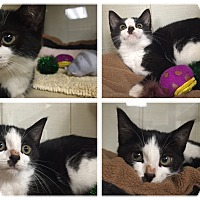 Adopt A Pet :: Itty Bitty - New Castle, PA