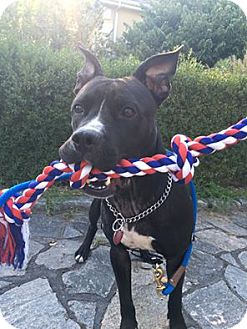 American Pit Bull Terrier Mix Dog for adoption in Ridgefield, Connecticut - Harry