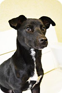 Dachshund/Chihuahua Mix Dog for adoption in Brooklyn, New York - Buttons