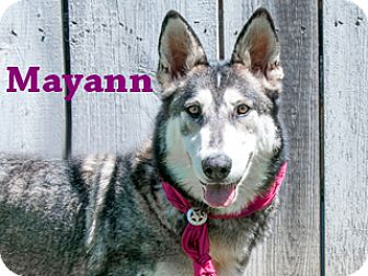 Husky Mix Dog for adoption in Hamilton, Montana - Mayann