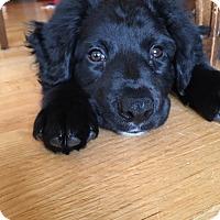 Retriever (Unknown Type) Mix Puppy for adoption in Hainesville, Illinois - Armani