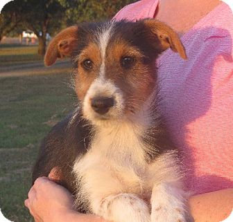 Sheltie, Shetland Sheepdog/Yorkie, Yorkshire Terrier Mix Puppy for adoption in Rochester, New York - Renee