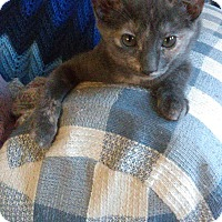 American Shorthair Kitten for adoption in San Jose, California - Beckett