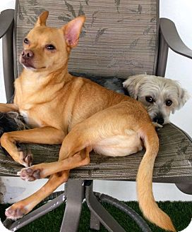 Shiba Inu/Chihuahua Mix Dog for adoption in Ft Myers Beach, Florida - Long legged looking guy!!