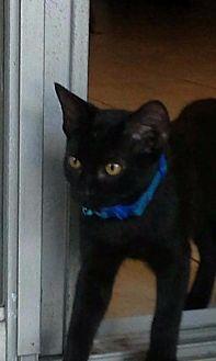 Domestic Shorthair Cat for adoption in Ocala, Florida - Lonnie