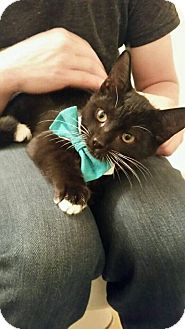 Domestic Shorthair Kitten for adoption in Gainesville, Florida - Milton