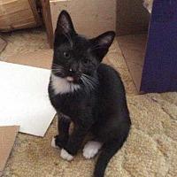 Domestic Mediumhair Cat for adoption in Calimesa, California - Socks