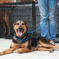 German Shepherd Dog/Australian Cattle Dog Mix Puppy for adoption in White Settlement, Texas - Sonny Boy