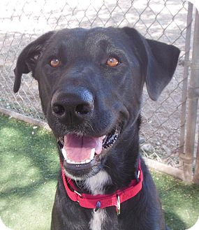 Labrador Retriever Dog for adoption in Phoenix, Arizona - Gabby