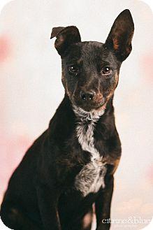 ... Puppy | Portland, OR | Doberman Pinscher/Australian Cattle Dog Mix