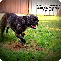 Adopt A Pet :: Munchkin - Gadsden, AL