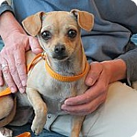 Adopt A Pet :: Trixie - Scottsdale, AZ