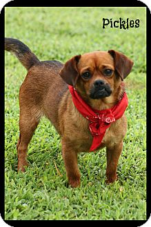 Pug Pomeranian Mix Dog for adoption in Haggerstown Maryland Pickles