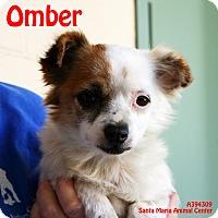 Adopt A Pet :: Omber - Santa Maria, CA