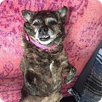 Adopt A Pet :: Sassy the Brindle Burrito - Los Angeles, CA