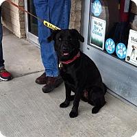 Adopt A Pet :: Holly - Doylestown, PA