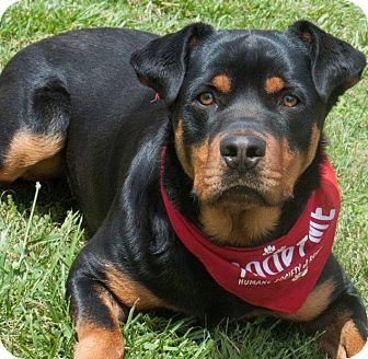 Rottweiler Mix Dog for adoption in Salisbury, North Carolina - Boris