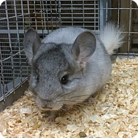 Adopt A Pet :: 2 mo mosaic female chinchilla - Hammond, IN