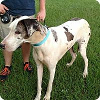 Great Dane Mix Dog for adoption in Portsmouth, New Hampshire - SYNDI-ADOPTION PENDING