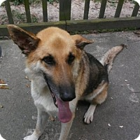 German Shepherd Dog Dog for adoption in Roswell, Georgia - Bruno (Guest)