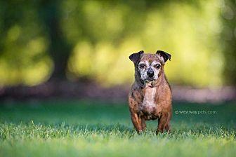 Dachshund Dog for adoption in El Cajon, California - Tulip