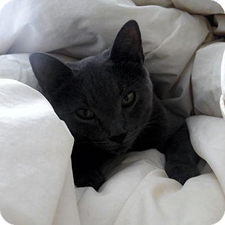 Domestic Shorthair Cat for adoption in Toronto, Ontario - Luna