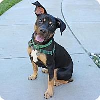 Adopt A Pet :: Bacall - Walnut Creek, CA