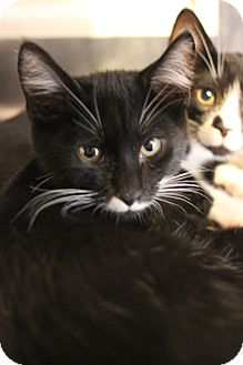 Domestic Shorthair Kitten for adoption in Carlisle, Pennsylvania - Adams
