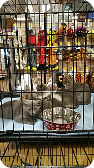 Domestic Mediumhair Kitten for adoption in Alhambra, California - Kittens!