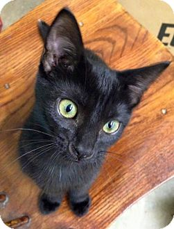 Domestic Shorthair Cat for adoption in Portland, Indiana - Stubby