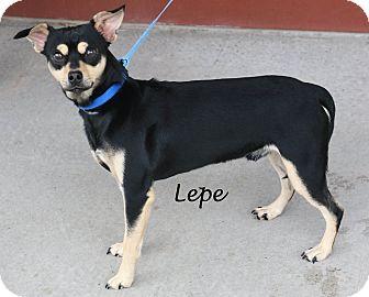 Chihuahua Mix Dog for adoption in Idaho Falls, Idaho - Lepe