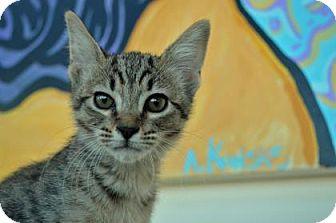 Domestic Shorthair Kitten for adoption in New Orleans, Louisiana - Mew