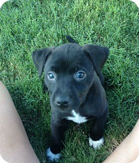 Labrador Retriever Mix Puppy for adoption in Rochester, New Hampshire - Sox