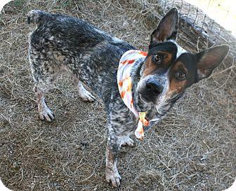 Blue Heeler Mix Dog for adoption in Pilot Point, Texas - Jaime
