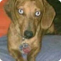 Dachshund Dog for adoption in Greensboro, North Carolina - WILLIE