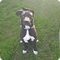 Labrador Retriever Mix Dog for adoption in Bakersfield, California - Percy