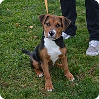 Adopt A Pet :: Holly *Older Puppy - Akron, OH