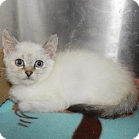 Adopt A Pet :: Sagwa - Kansas City, MO