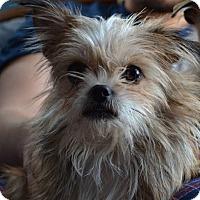 Adopt A Pet :: Tequila - East Randolph, VT